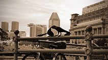 Photograph of an affectionate moment featuring a loving pair of crows, with a blend of modern and time-honoured architectures such as the Cavenagh Bridge, Esplanade, and The Fullerton Hotel in the background, along the Singapore River at Boat Quay, Singapore.